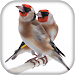 Goldfinch Master Mp3