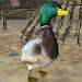 Download Real Duck Simulator 1.5 APK